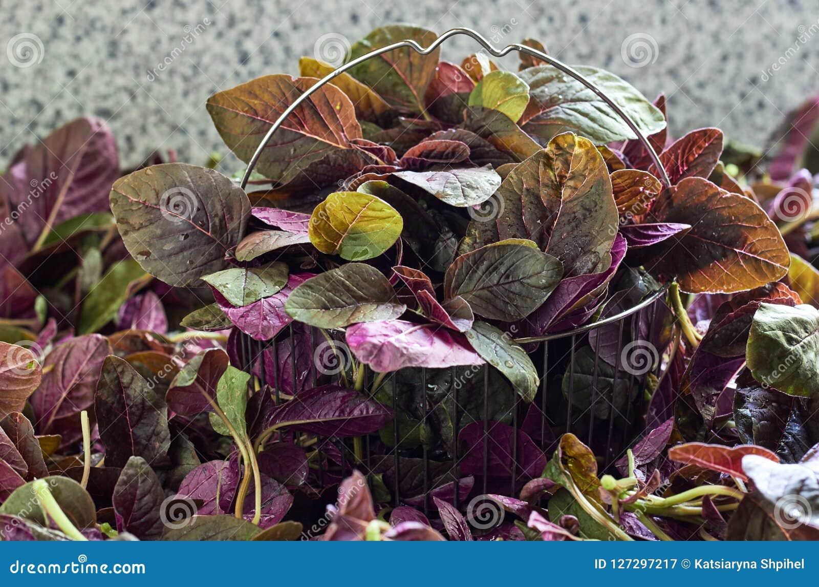 Feuilles fraîches des épinards rouges, amaranthe dans le panier en acier sur le tas de l amaranthe