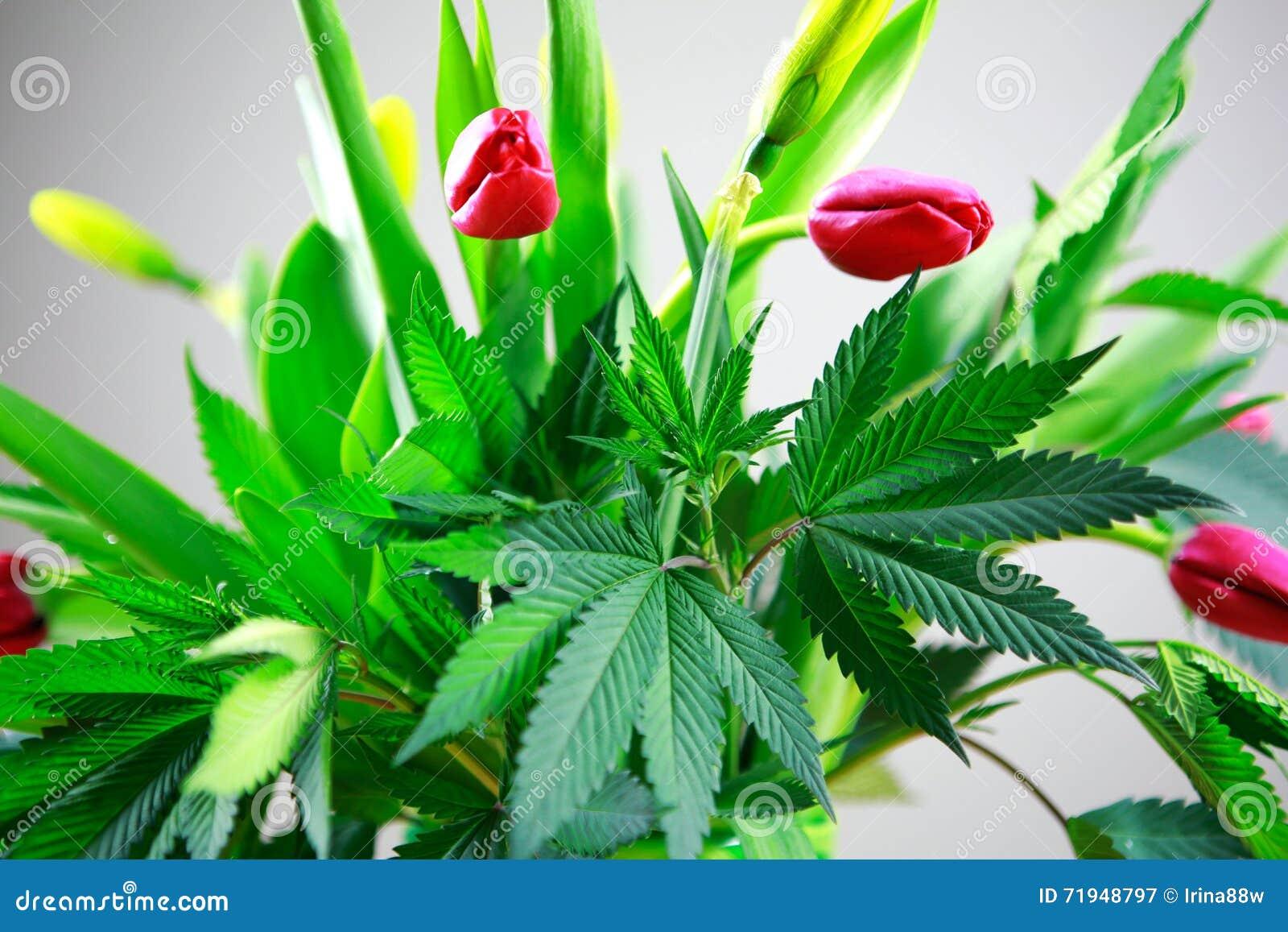Feuilles fraîches vertes de marijuana grandes (cannabis), usine de chanvre dans un bouquet gentil de fleur de ressort avec les tu