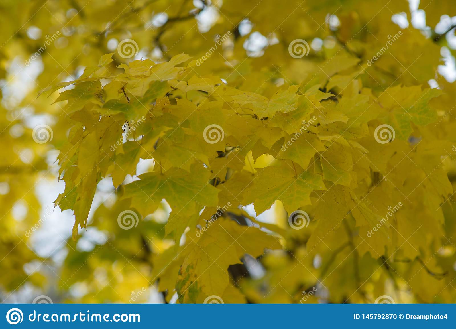 Feuilles jaunes d ?rable d automne