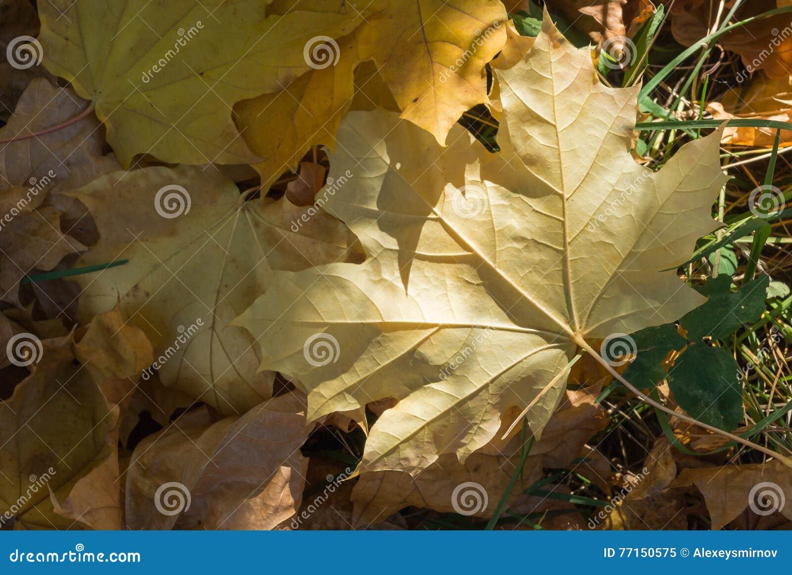 Feuilles jaunes sèches d érable sur la terre
