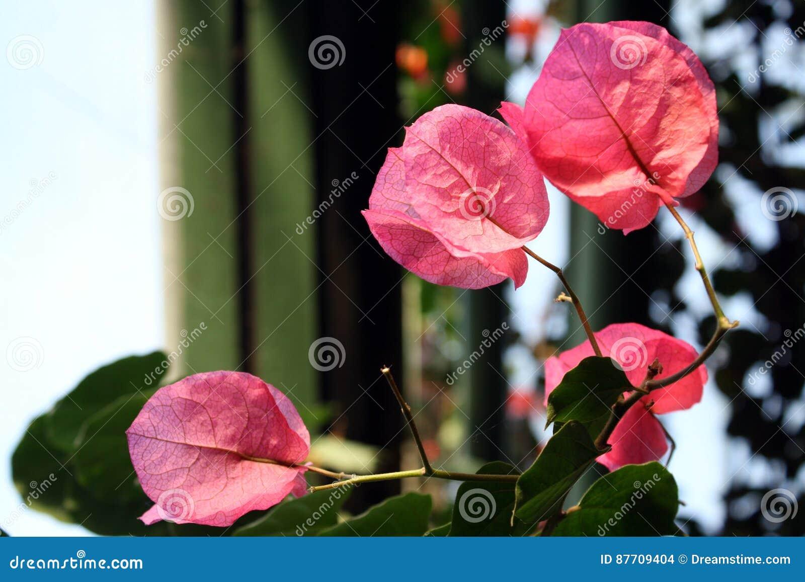 Feuilles merveilleuses de rose
