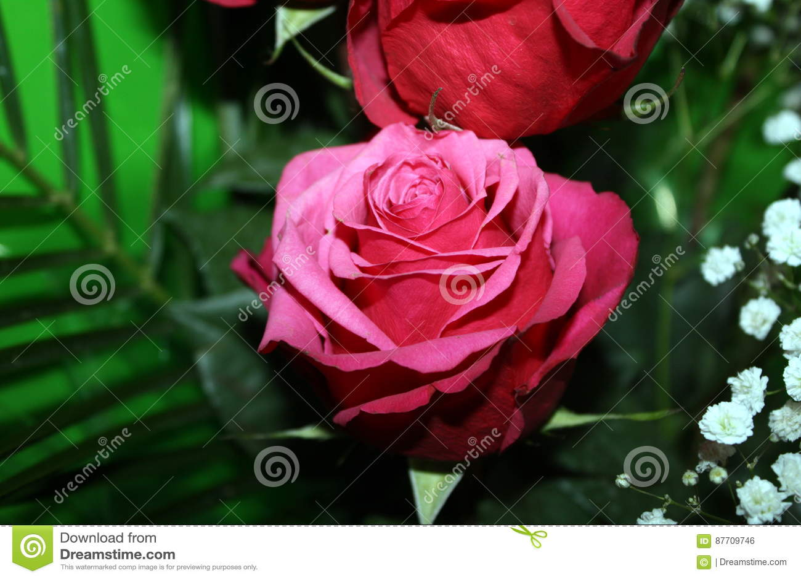 Feuilles merveilleuses de rose et de vert de rose