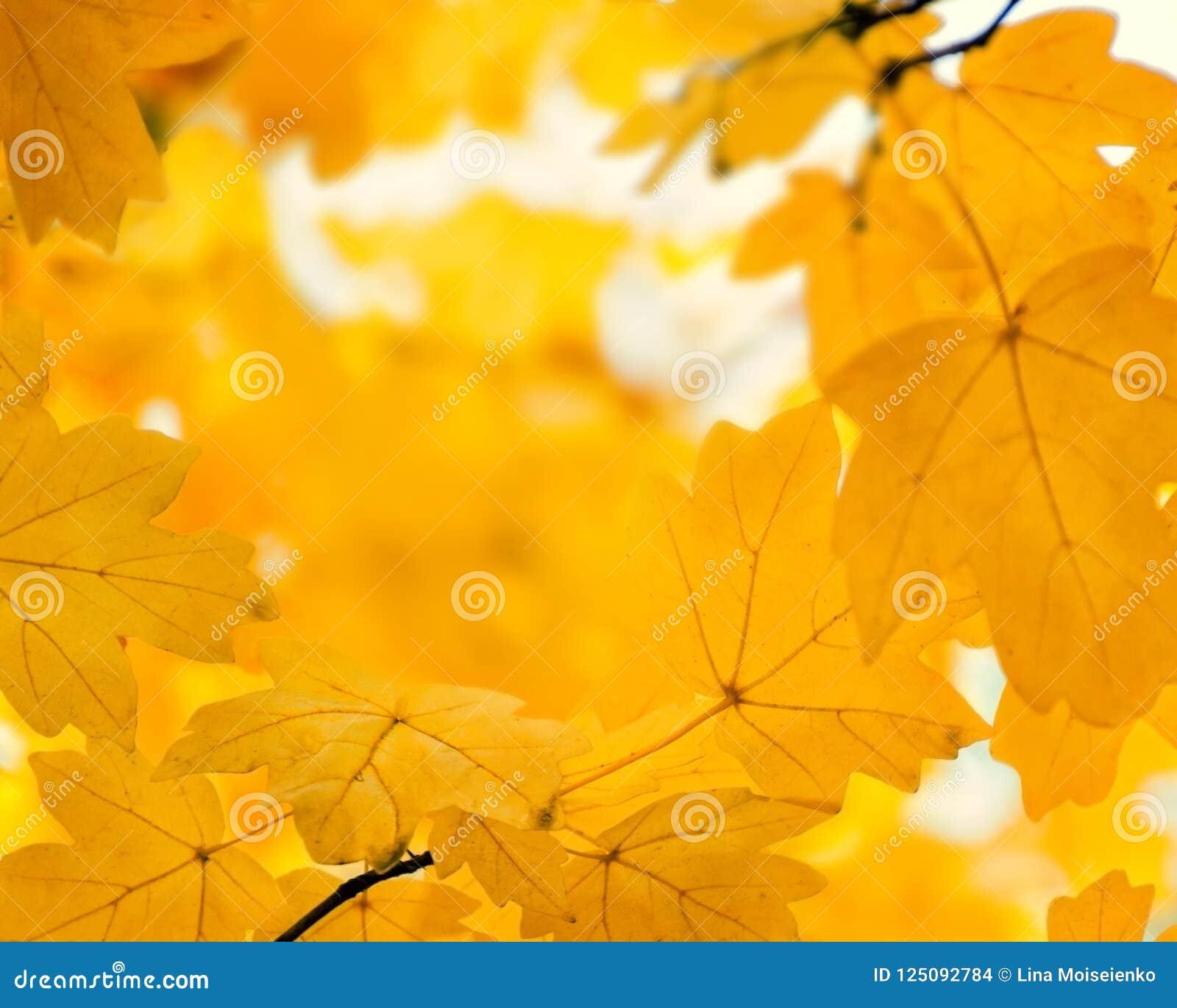 Feuilles oranges Defocused d érable, fond d or brouillé d automne