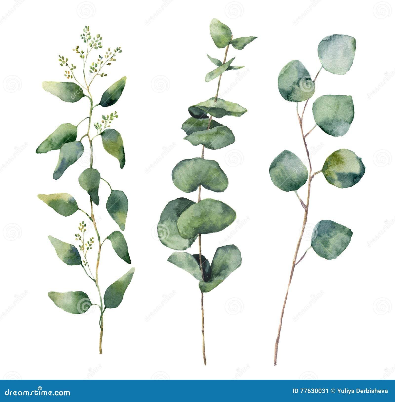 feuilles rondes et branches d'eucalyptus d'aquarelle réglées