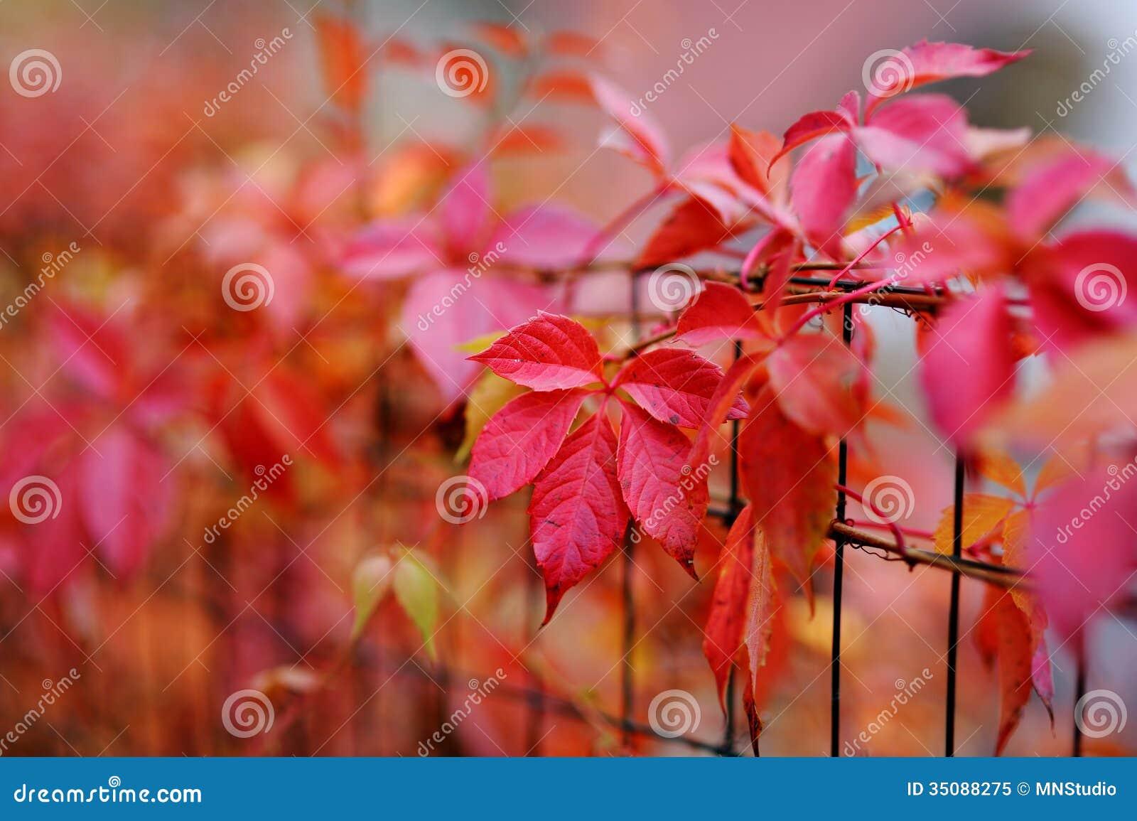 Feuilles rouges de plante grimpante de virginie d 39 automne for Plante 7 feuilles
