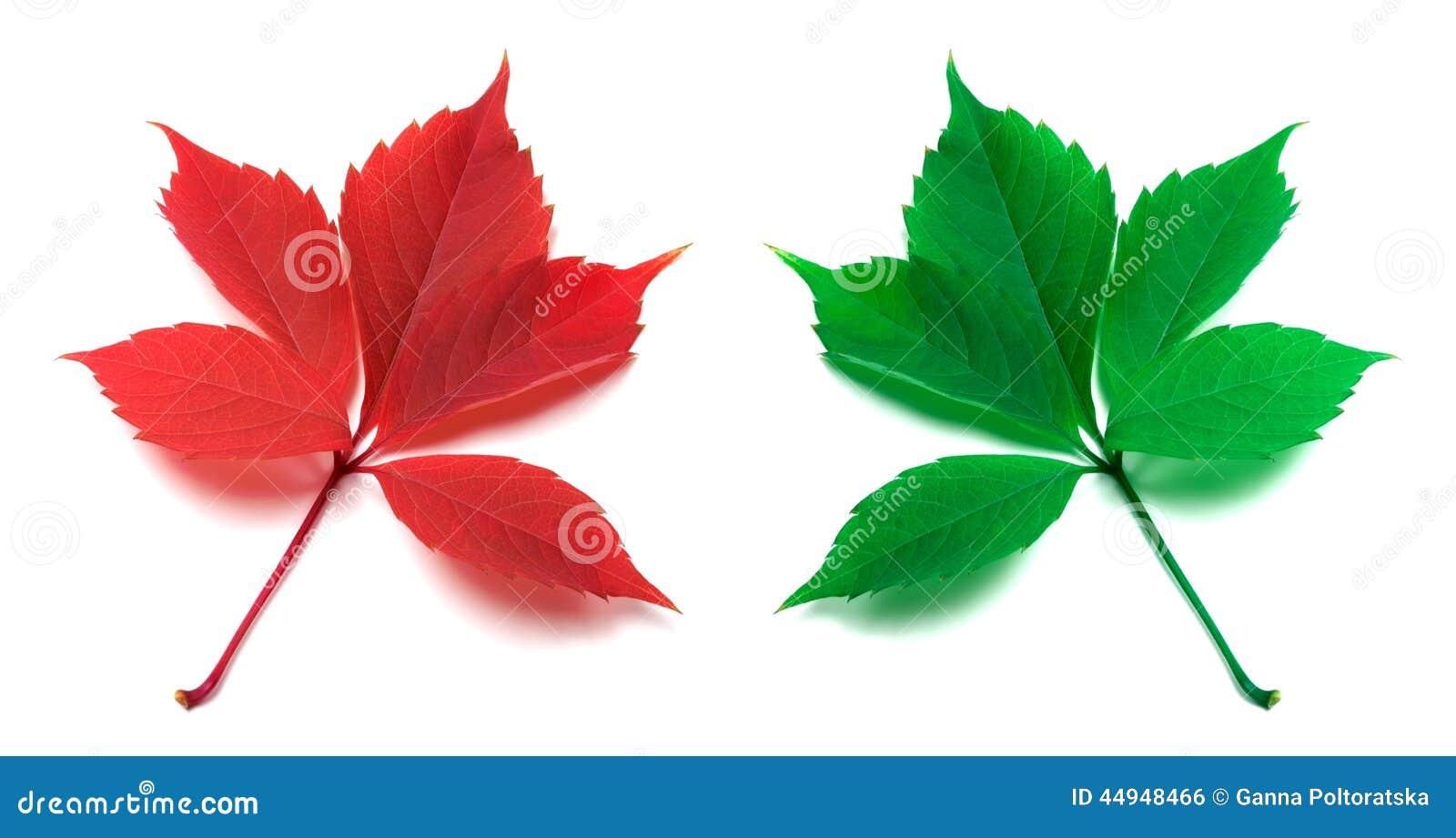 Feuilles rouges et vertes de plante grimpante de virginie photo stock image 44948466 - Plantes vertes bout des feuilles marron ...