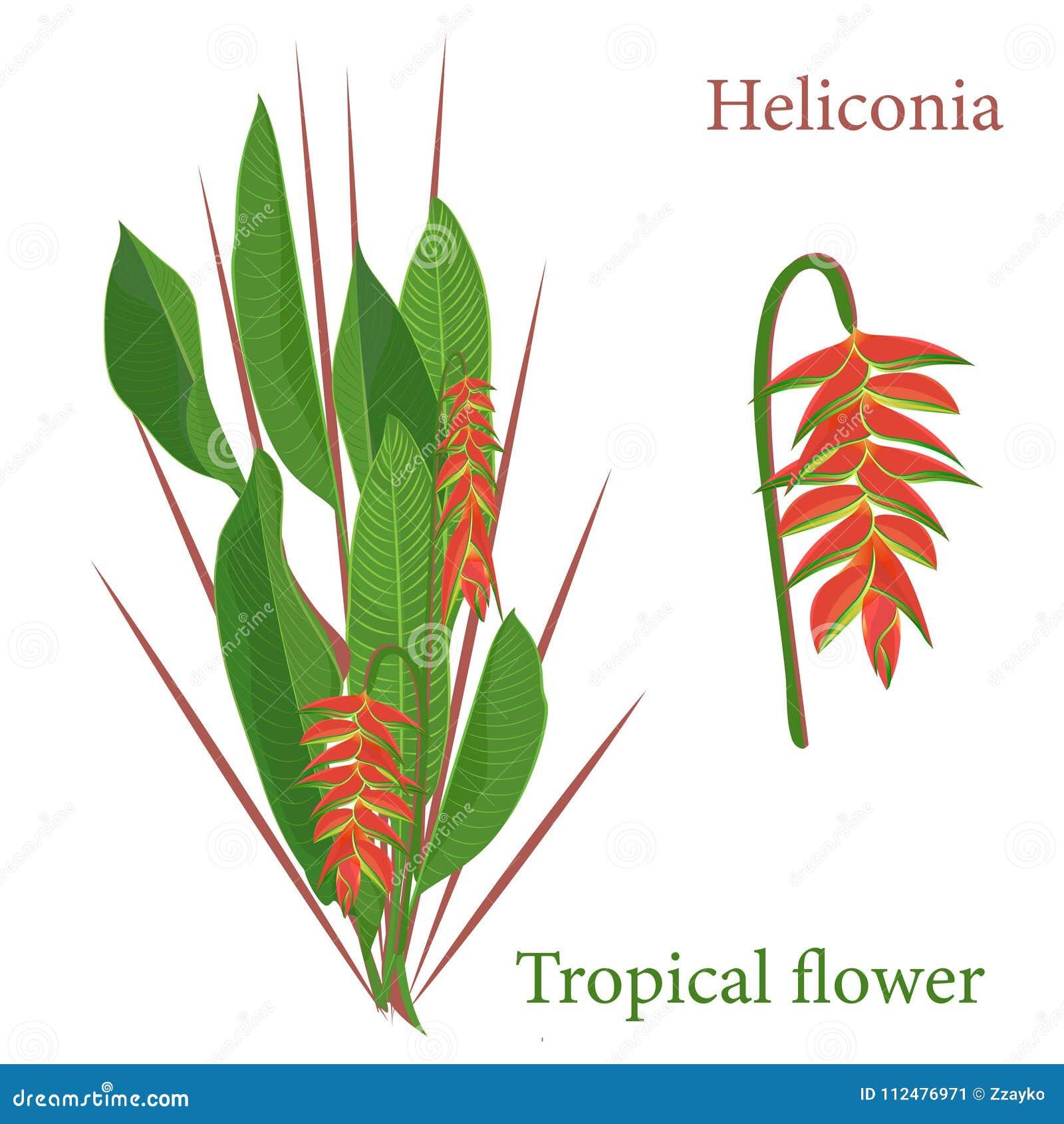 Feuilles Tropicales De Fleur De Heliconia De Branche Dessin Réaliste
