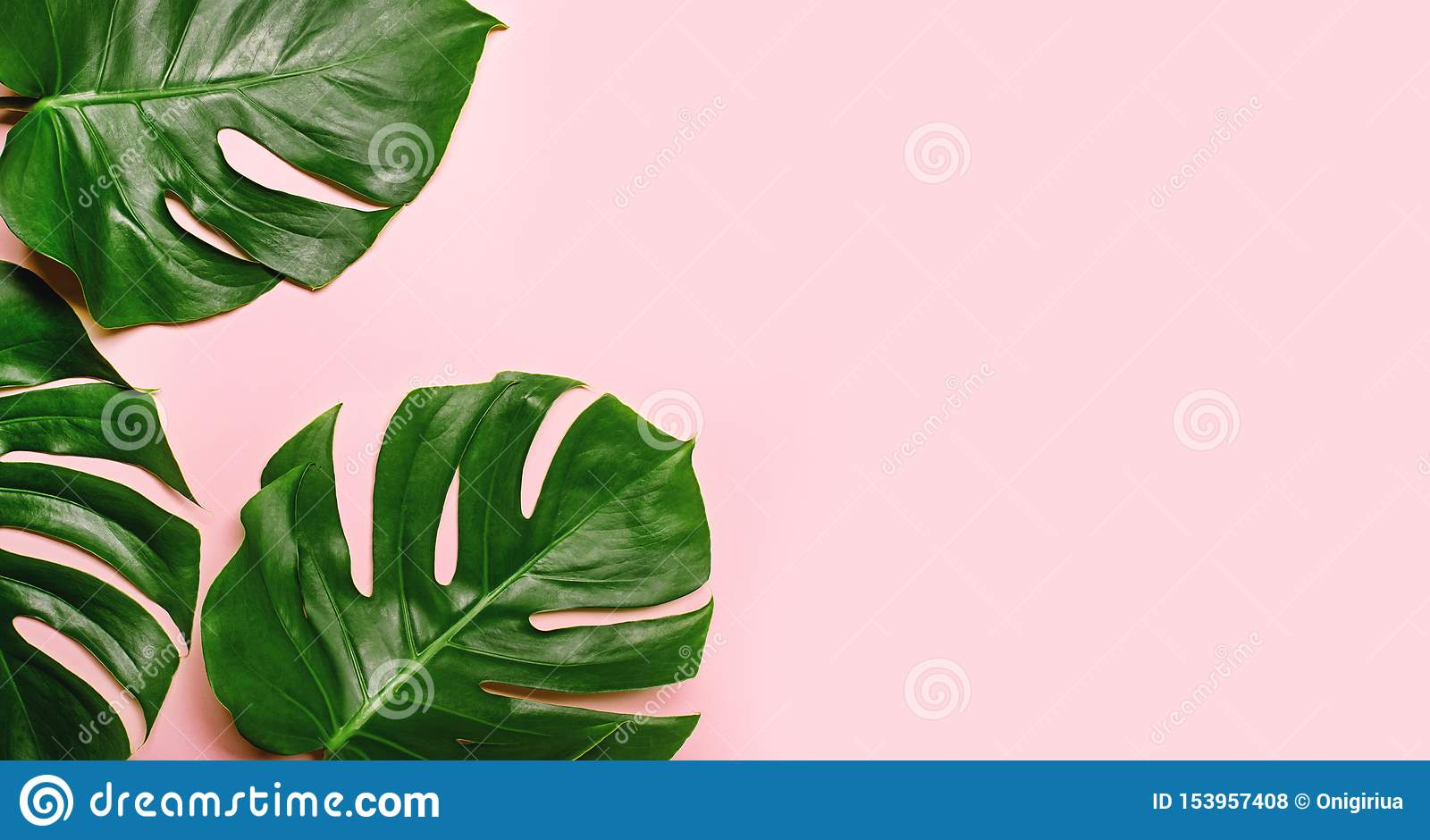 Feuilles tropicales de monstera sur le fond rose