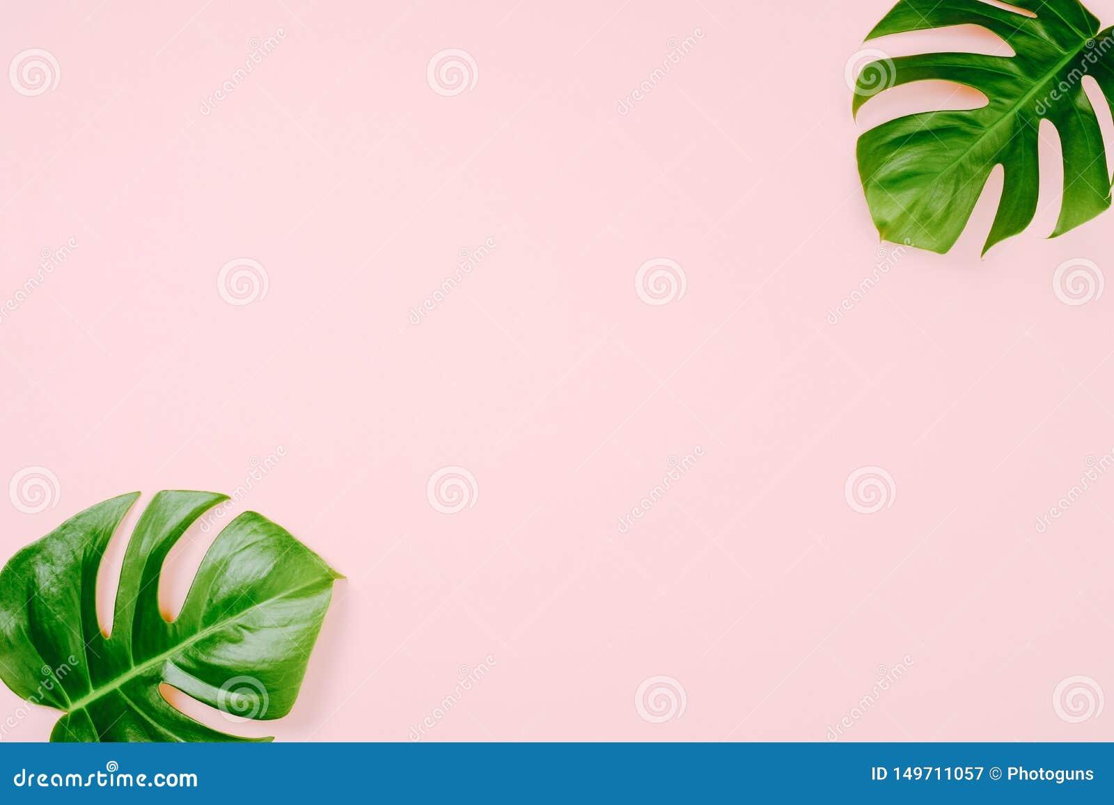 Feuilles tropicales Monstera sur le fond rose avec l espace pour un texte Configuration plate, vue supérieure, couleurs en pastel