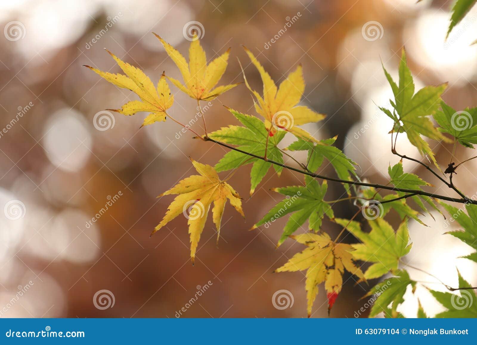 Download Feuilles Vertes D'érable Japonais Photo stock - Image du abstrait, conception: 63079104
