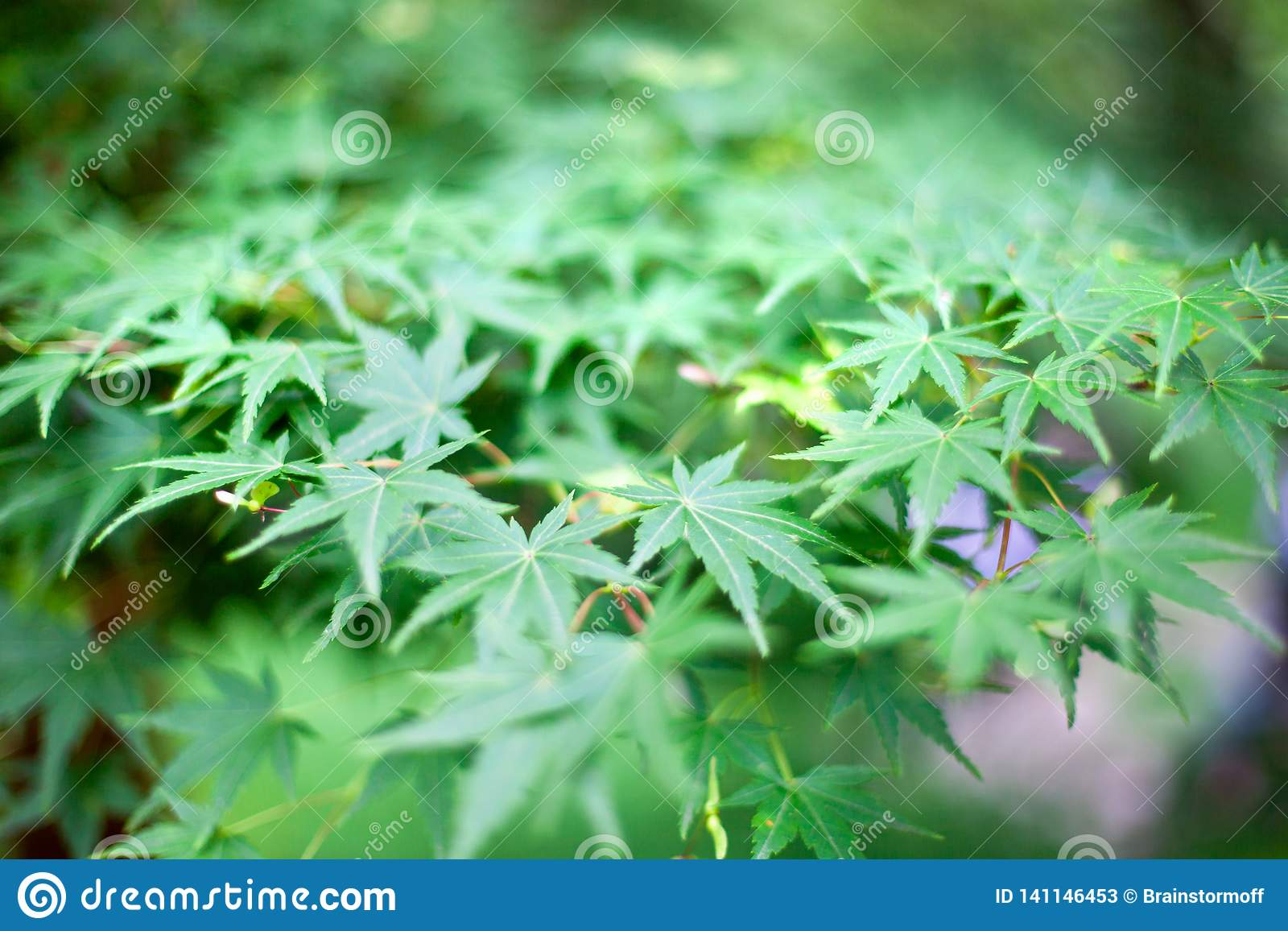 Feuilles vertes fraîches de buisson de marijuana d herbe dans le macro de bokeh brouillé par textures de fond de jardin ou de cha