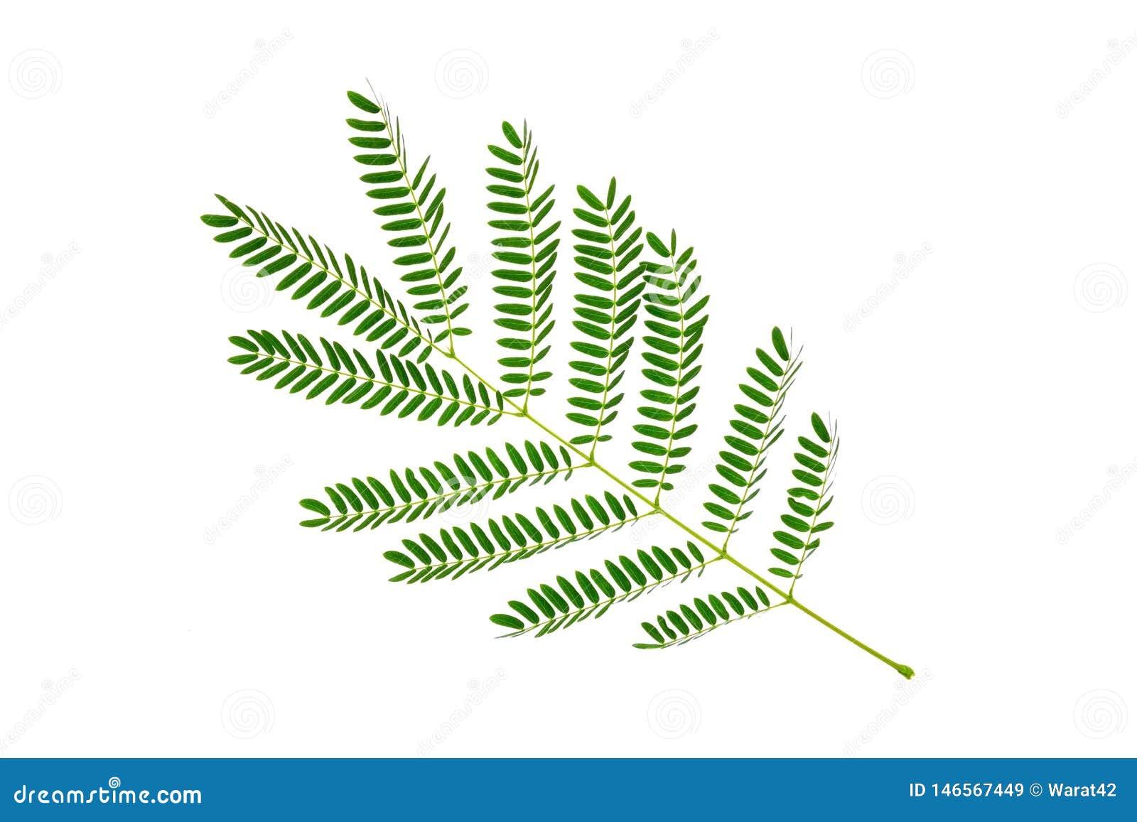 Feuilles vertes modèle, feuille de plante tropicale d isolement sur le fond blanc