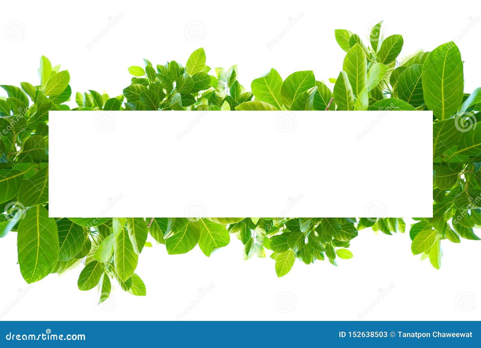 Feuilles vertes tropicales asiatiques qui ont isolé sur un fond blanc
