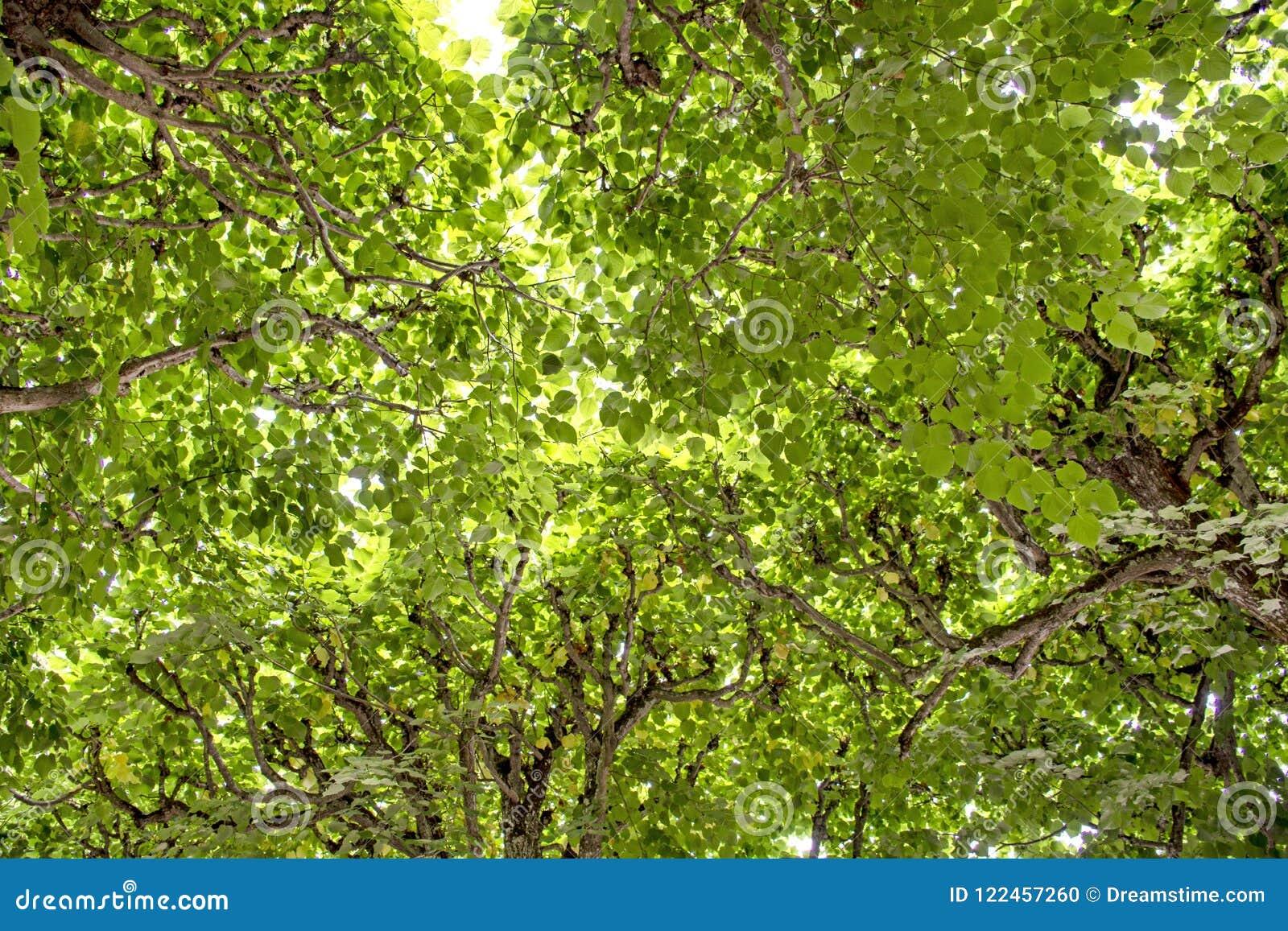 Feuilles vives parfaites de vert d arbres