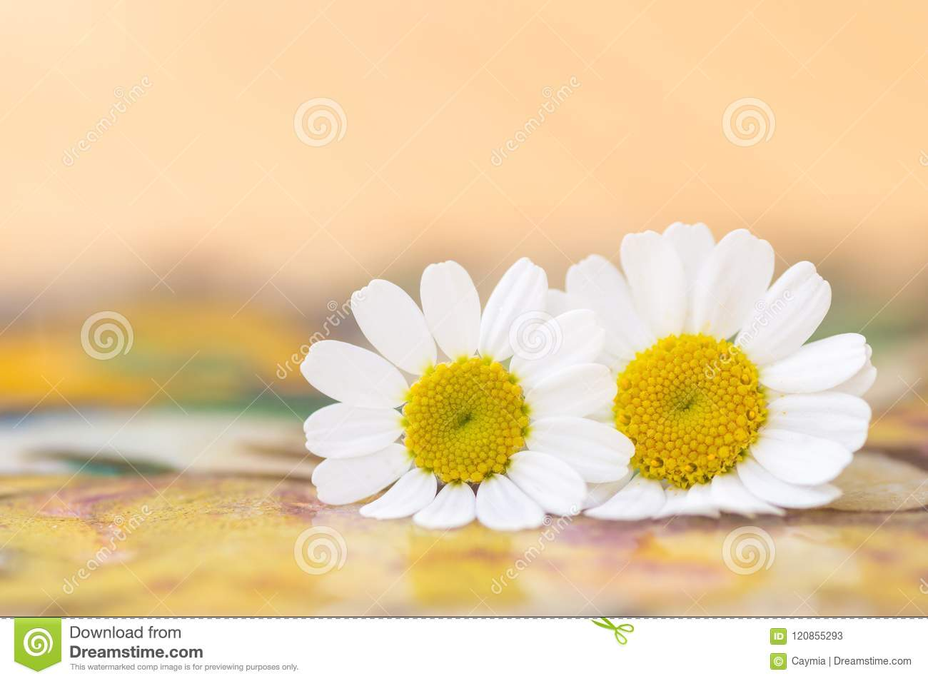 Feverfew flowers daisy flowers with peach and yellow background feverfew flowers daisy flowers with peach and yellow background izmirmasajfo