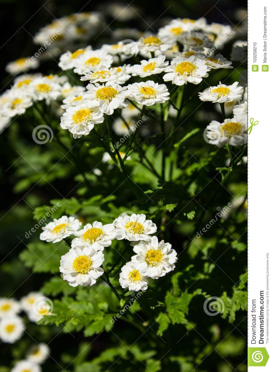 Feverfew Tanacetum Parthenium In Flower  Mass Of White And
