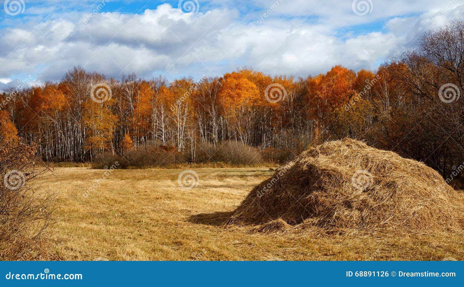Fianza del heno que cosecha en paisaje de oro del campo