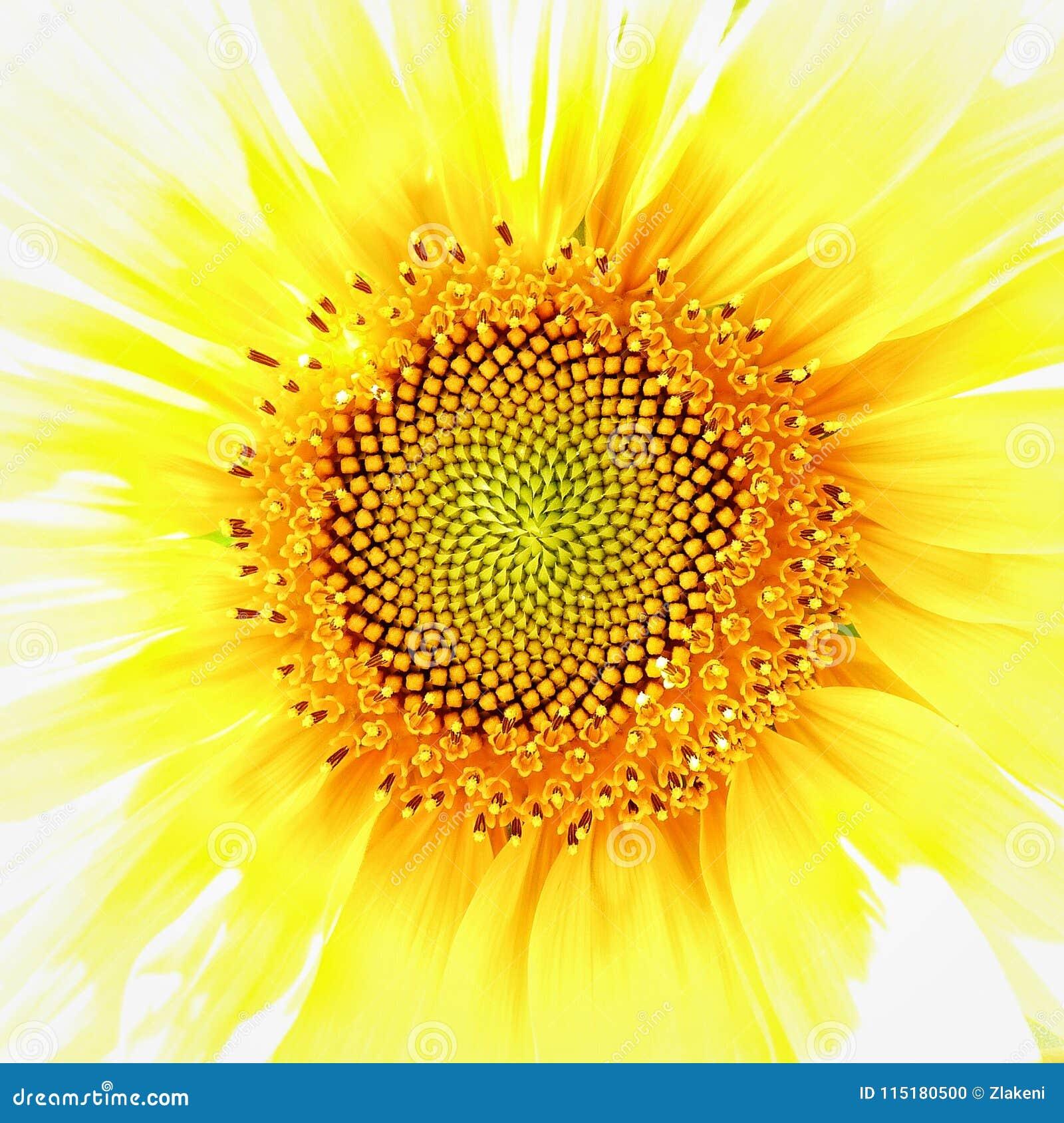 Fibonacci in girasole