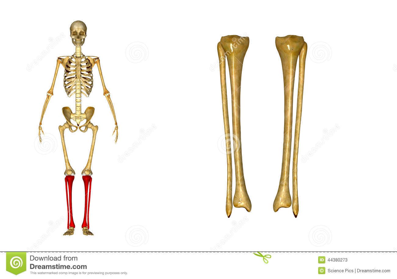 Fibula and tibia stock image. Image of crest, shinbone - 44380273