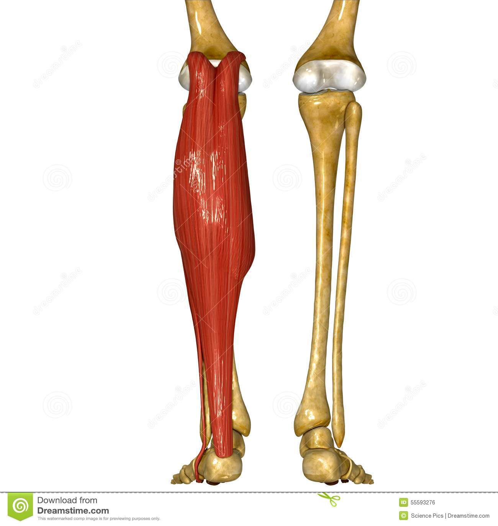 Fibula And Tibia Muscles Stock Illustration Illustration Of Foot