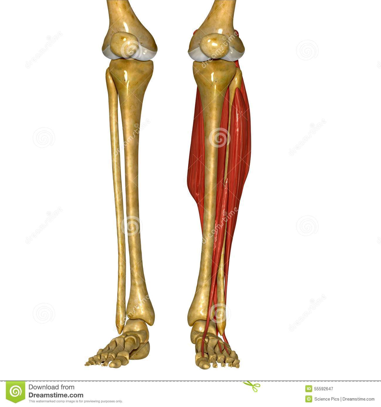 Fibula and Tibia Muscles
