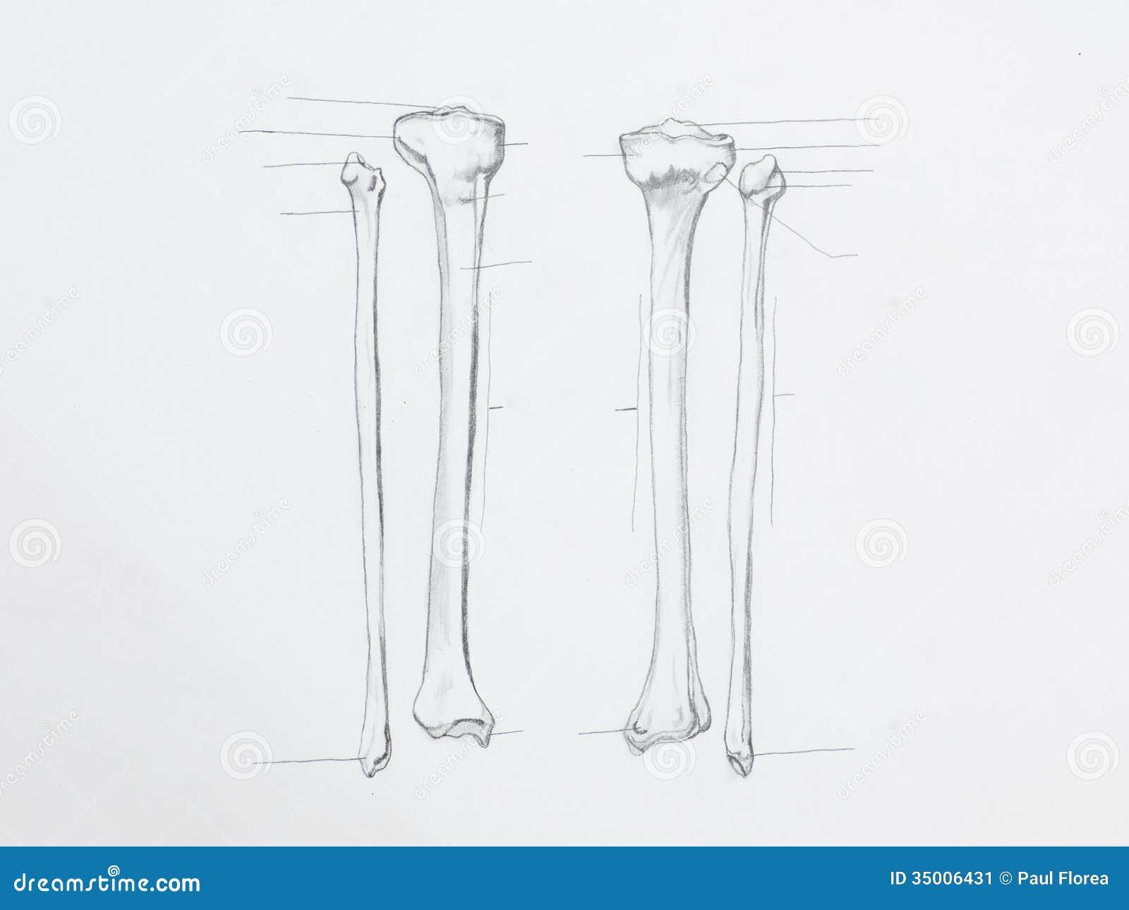 Fibula Tibula bones чертеж карандаша