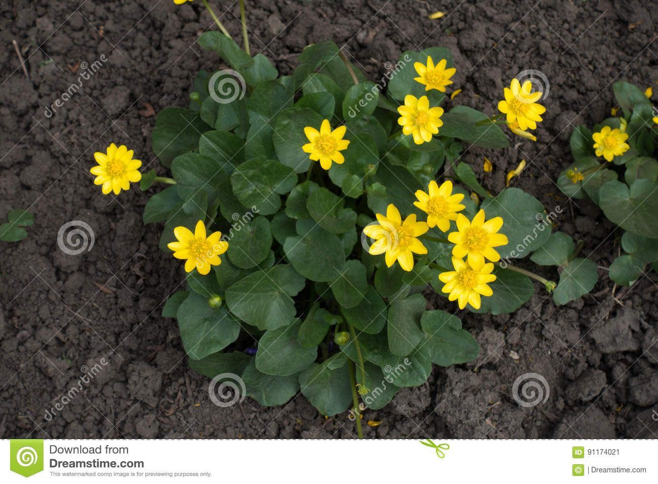 Ficaria Verna With Yellow Flowers From Above Stock Image Image Of