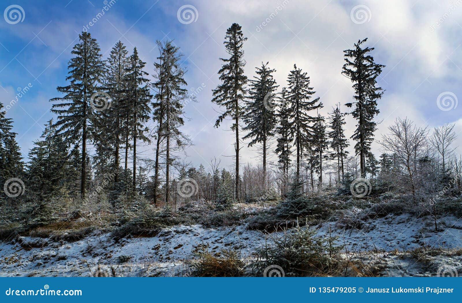 Fichten in der Winterzeit