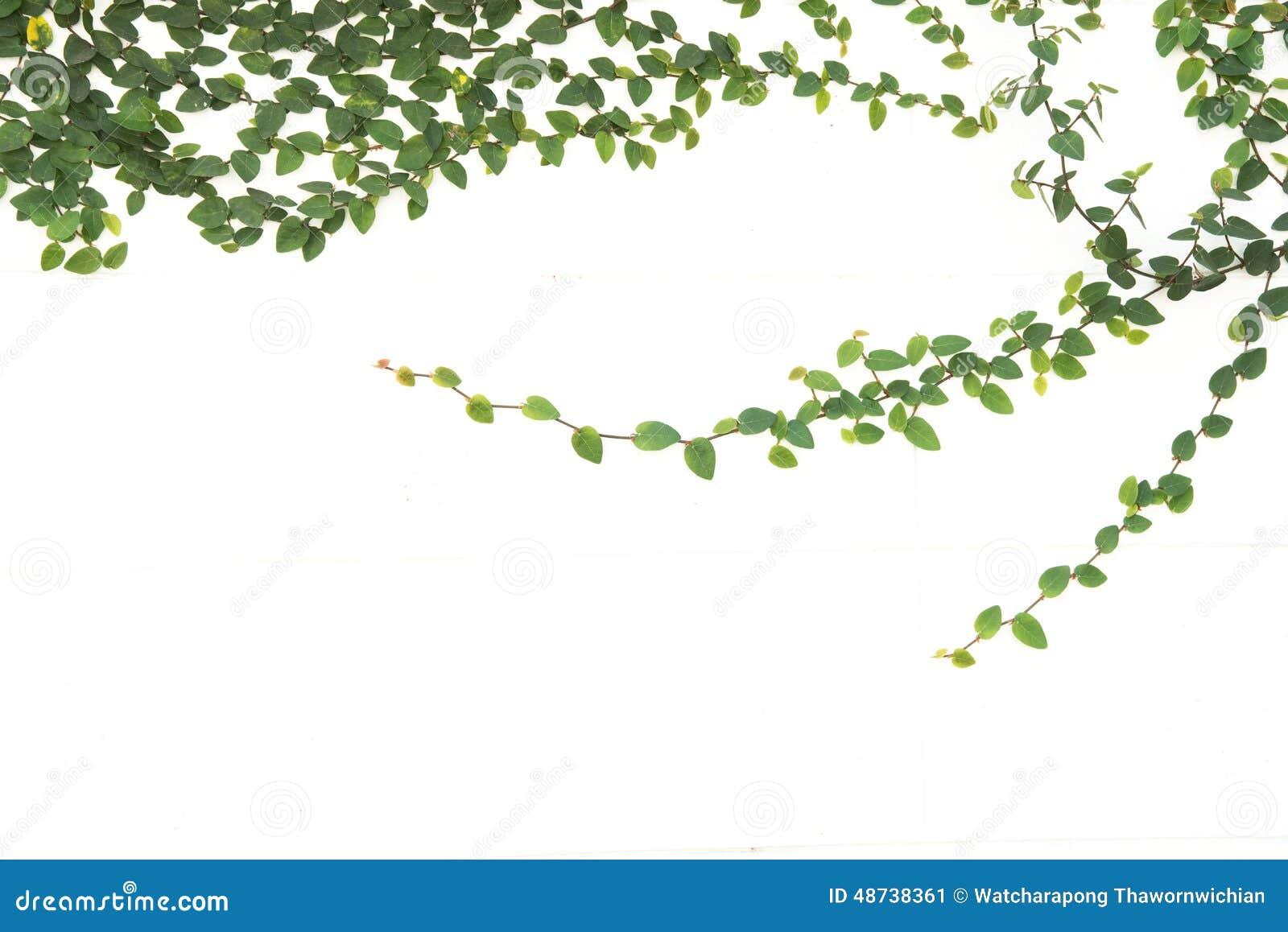 Fico rampicante dell 39 edera verde isolato fotografia stock for Edera rampicante
