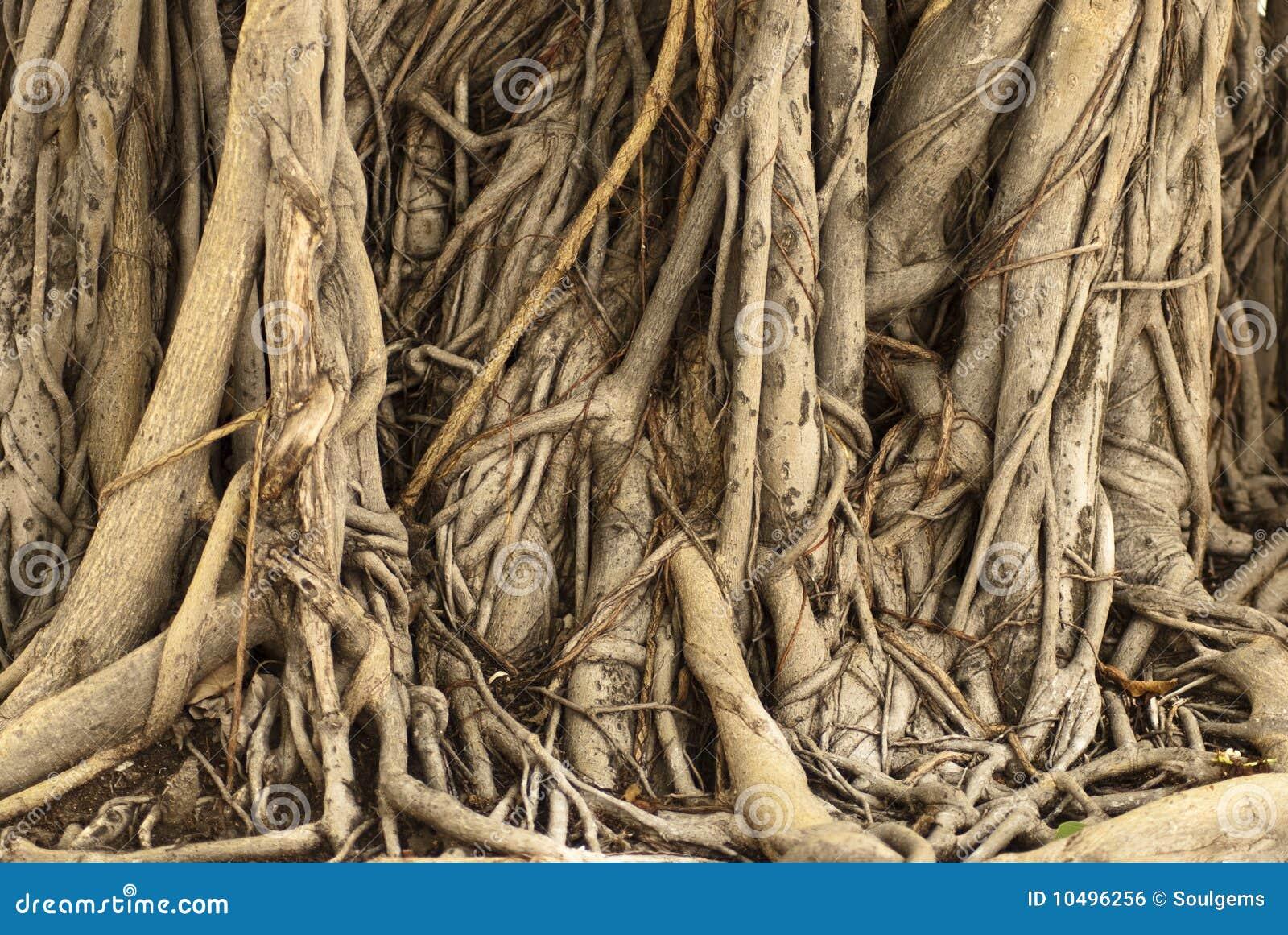 ficus baum wurzeln in kambodscha stockfoto bild von grow ficus 10496256. Black Bedroom Furniture Sets. Home Design Ideas