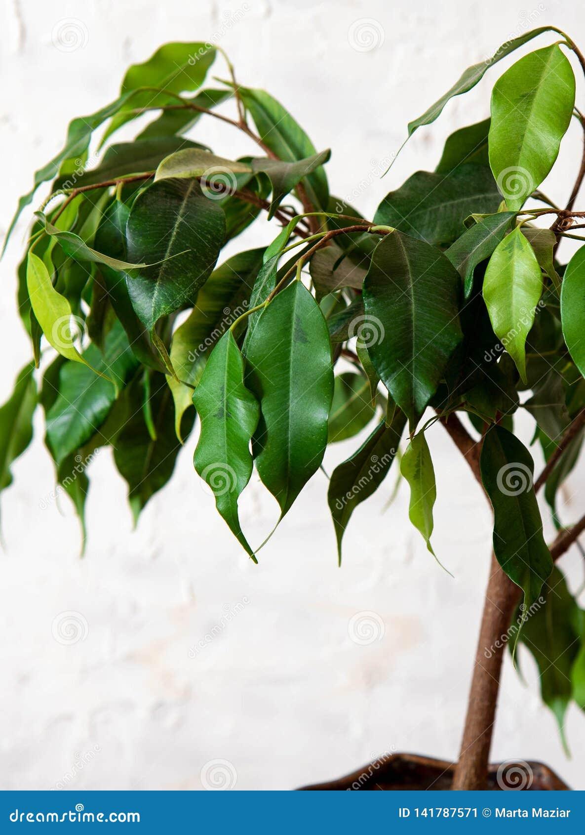 Ficus beniamin na białym tle Dom rośliny