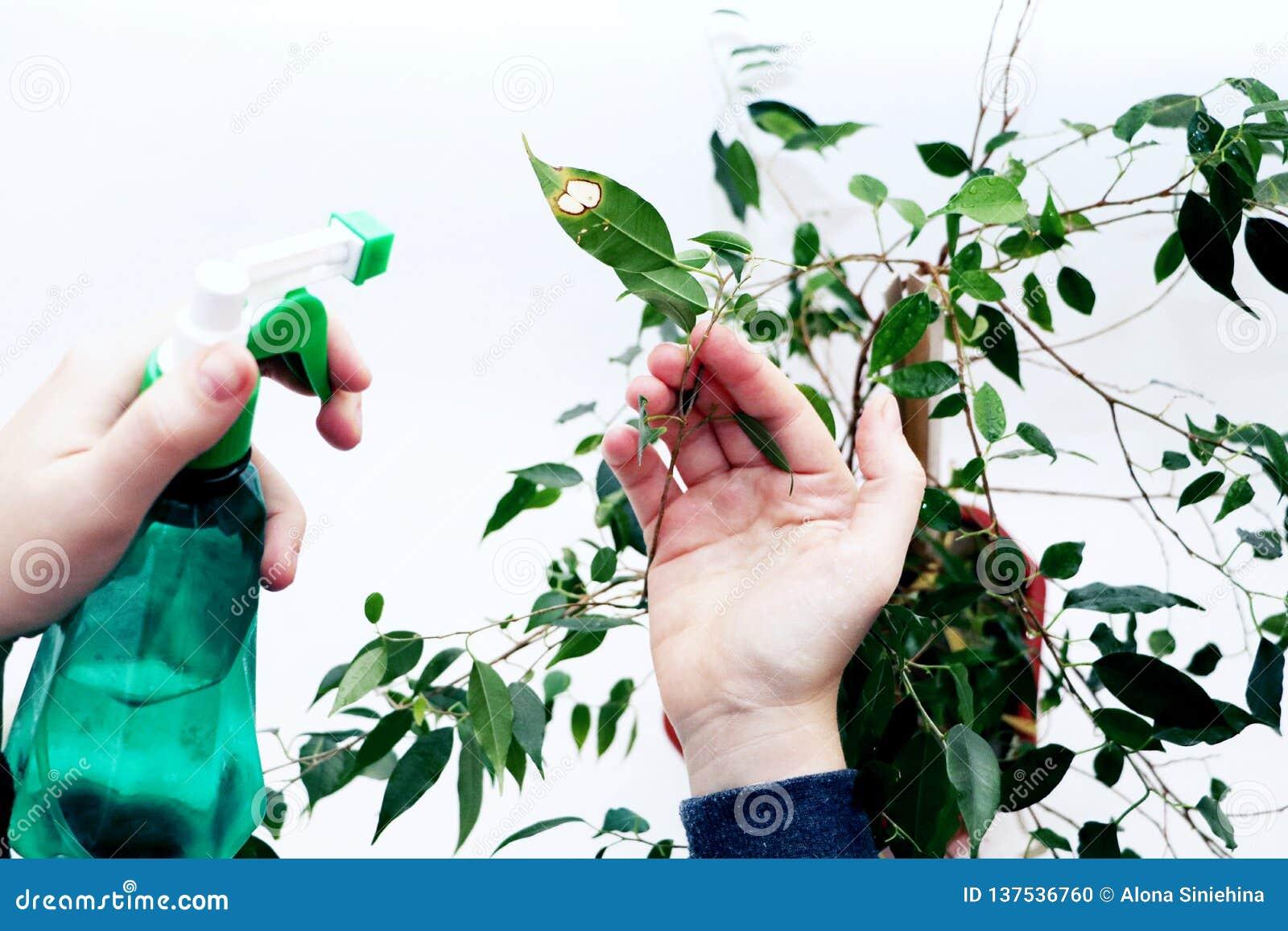 Cura Del Ficus Benjamin ficus benjamin cura per il ficus a casa fotografia stock