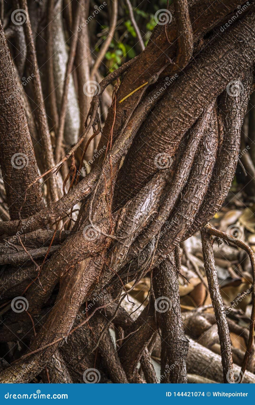 Ficus elastica mehrfache Luft- und stützende Wurzeln eine Nahaufnahme