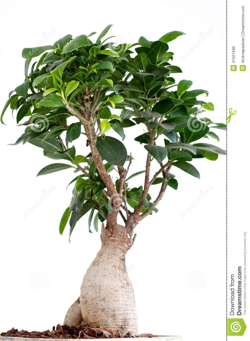 ficus ginseng bonsai stock photo image of giardino captured 41621690. Black Bedroom Furniture Sets. Home Design Ideas
