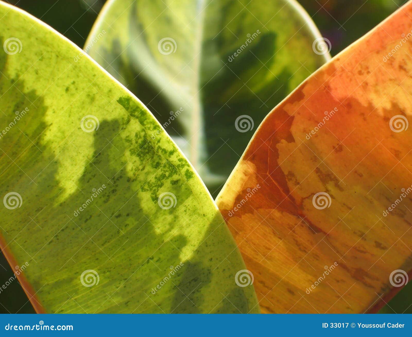 Ficus glow