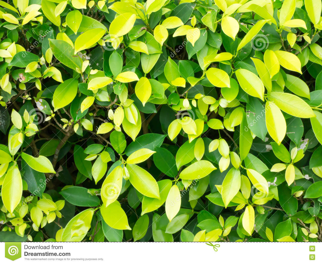 Ficus microcarpa soft focus for background stock photo - Ficus microcarpa cuidados ...