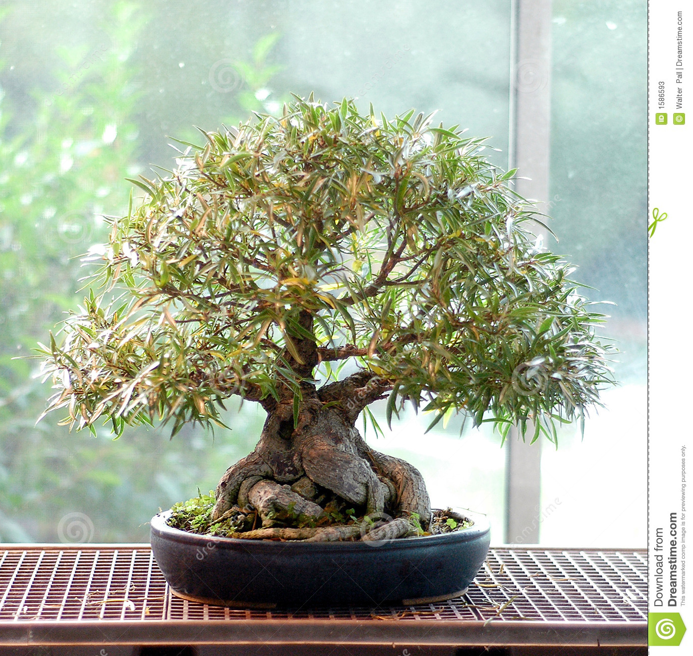 Ficus nerifolia bonsai stock image image of indoor for Bonsai indoor
