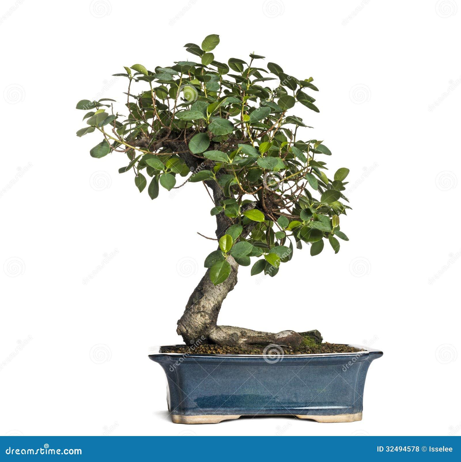 ficus panda bonsai tree ficus retusa isolated royalty. Black Bedroom Furniture Sets. Home Design Ideas
