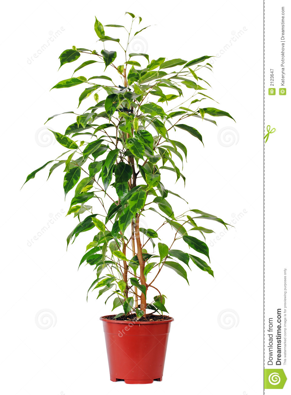 Ficus in pot royalty free stock photography image 2123647 for Where to buy indoor house plants