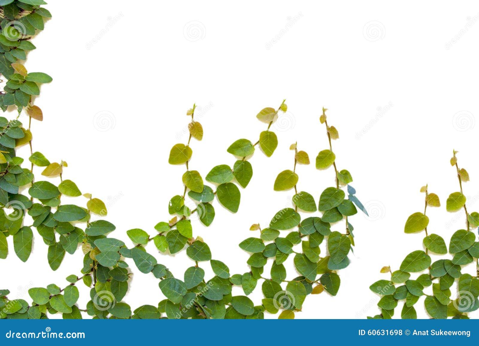 Ficus pumila climbing
