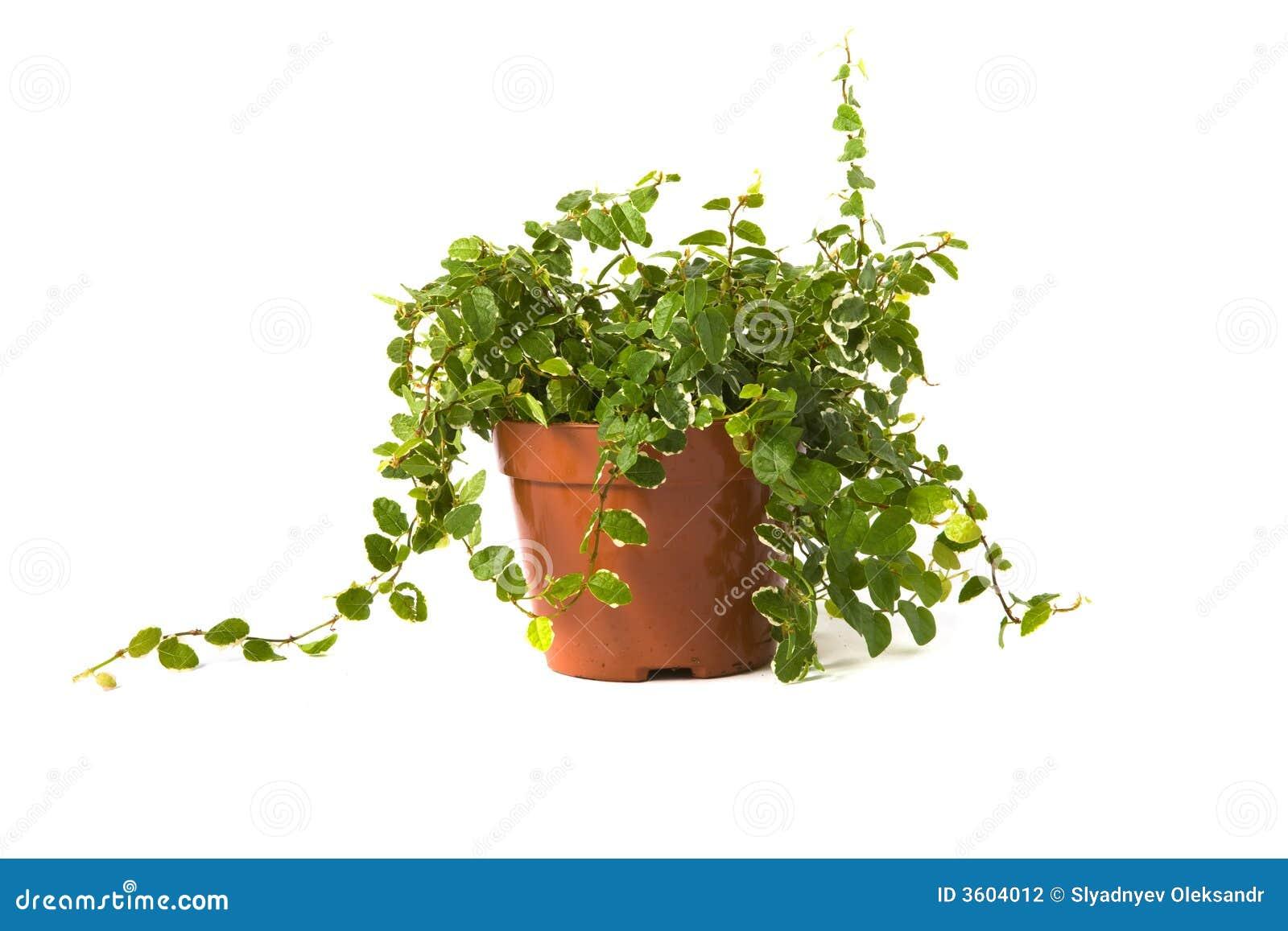 Ficus Pumila Sonnig Stockfotografie Bild 3604012