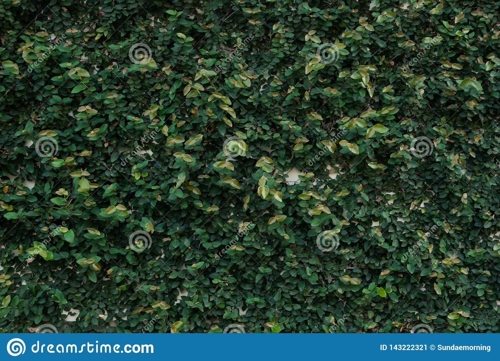 Ficus Pumila Wall Climbing Plant Texture Background