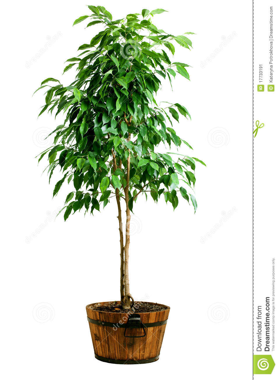 Ficus tree in pot stock image image 17733191 for Plant de pot exterieur