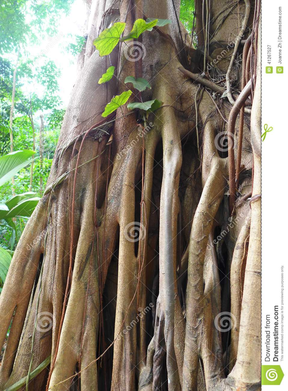 Ficus tree roots details, tropical jungle