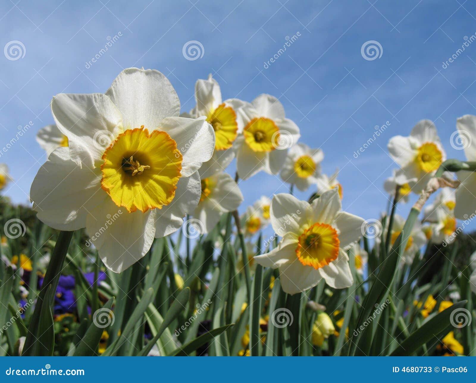 Fie branco e amarelo dos daffodils