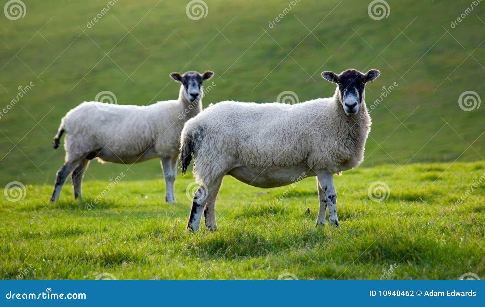 Field пасти овец 2