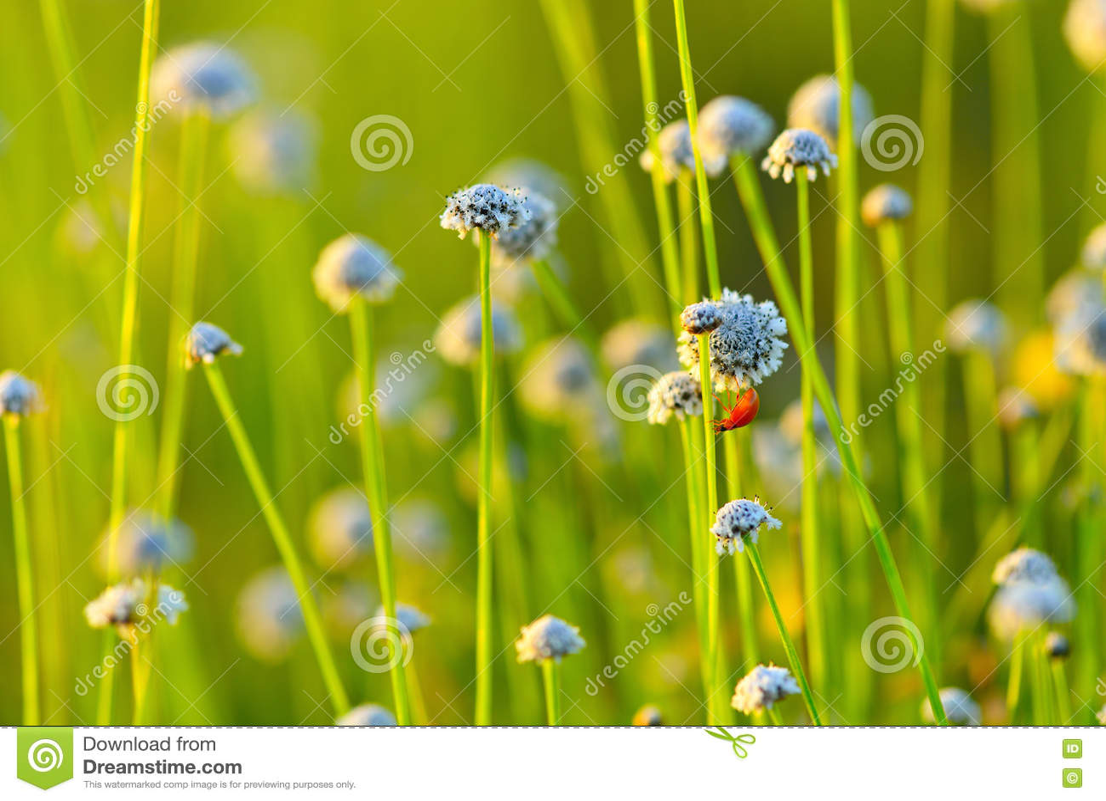 Field цветок