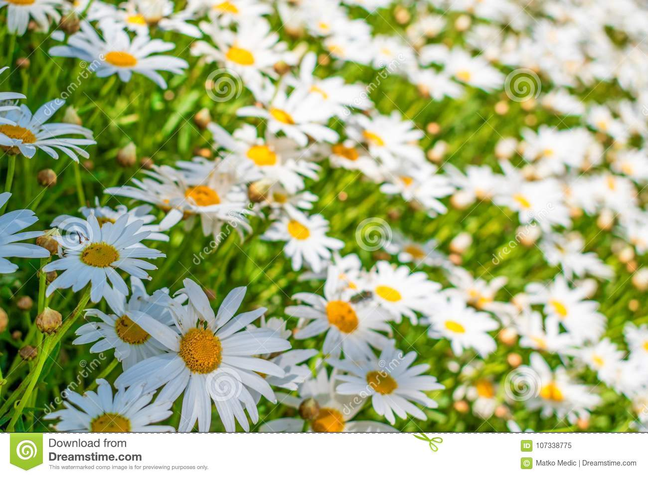 Field of white daisy flowers 3 stock image image of beautiful download field of white daisy flowers 3 stock image image of beautiful flower izmirmasajfo