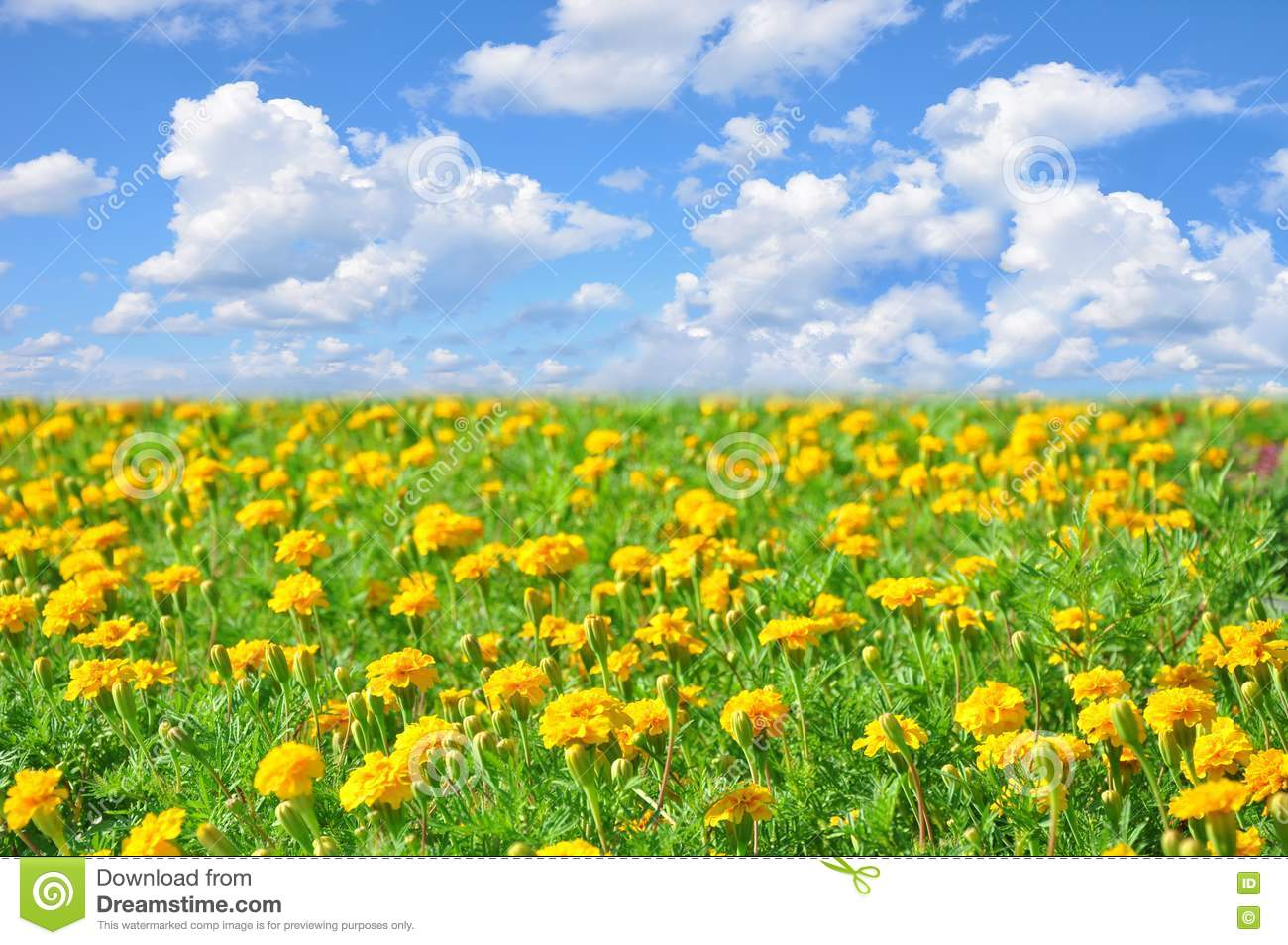 ... Beautiful Yellow Flowers In Sunny Stock Photography - Image: 15406602: dreamstime.com/stock-photography-field-beautiful-yellow-flowers...