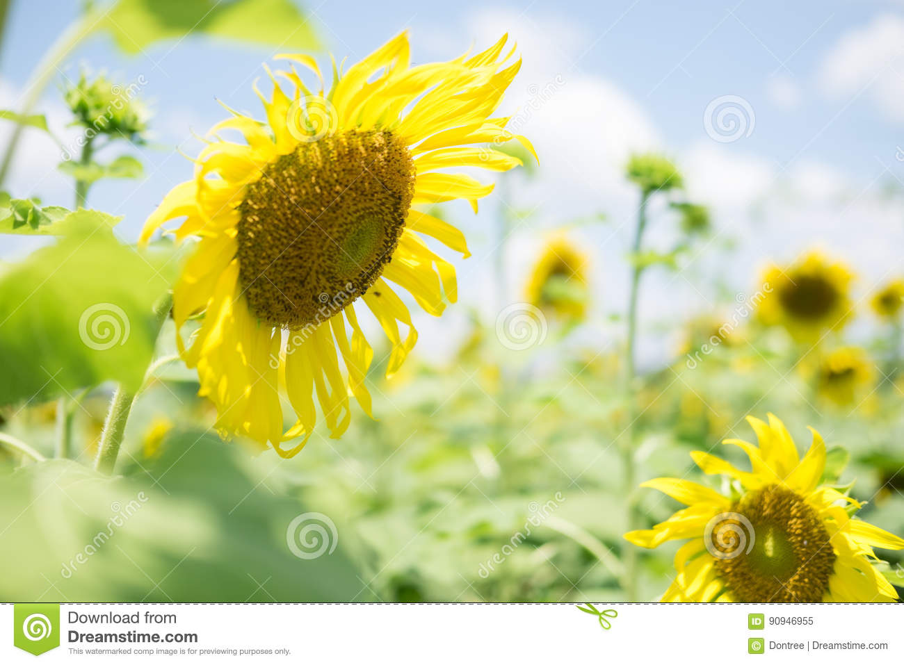 Field with blooming sunflower blossoms